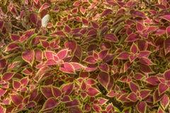 Decorative floral background of Coleus plant Stock Photo
