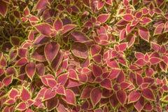 Decorative floral background of Coleus plant Stock Images