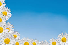 Decorative floral corner. With daisy on white background Stock Photo