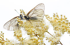 Decorative flower Bush. Two white butterfly sitting on the decorative flower Bush in the summer on a background of the sky Stock Image