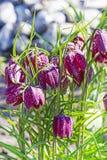 Decorative flower Hazel grouse chess (Latin.  Fritillaria meleagris). Decorative flower Hazel grouse chess (Latin. nFritillaria meleagris). The blossoming bush Stock Photos