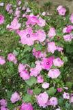 Decorative flower Lavatera Royalty Free Stock Image
