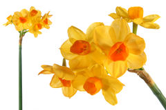 Decorative flower narcissus Stock Photos