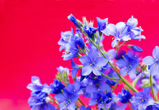 Decorative flower Polemonium caeruleum . Royalty Free Stock Images