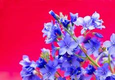 Decorative flower Polemonium caeruleum . Decorative flower Polemonium caeruleum with blue flowers on a red background royalty free stock images
