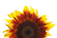 Decorative flower sunflower isolated on a white Stock Images