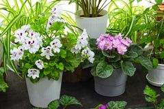 Decorative and flowering indoor plants on the windowsill green plants and indoor flowers royalty free stock photo