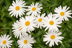 Decorative flowers of garden chamomile Royalty Free Stock Photos