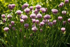 Decorative flowers of onion in summer sunny garden Stock Image