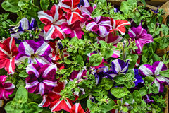 Decorative flowers petunia Royalty Free Stock Image