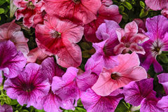 Decorative flowers petunia Stock Photo