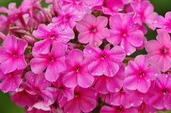 Decorative flowers. phlox. flora. Pink phlox flowers after the rain, ornamental flowers. flora royalty free stock image