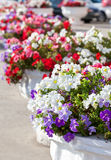 Decorative flowers in pots Royalty Free Stock Photo