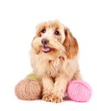 Decorative fluffy dog and wool balls Royalty Free Stock Photo