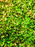 Decorative four leaf clovers Royalty Free Stock Image