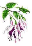Decorative fuchsia flower Royalty Free Stock Photo