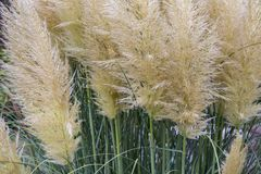 Garden with bush of blooming pampas grass Stock Images