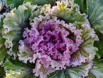 Decorative Garden Cabbage Stock Photos