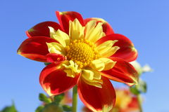 Decorative Garden Flower Stock Image