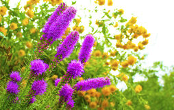 Decorative garden flowers. Decorative garden flowers lilac and yellow grow in the summer stock images