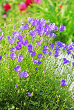 Decorative garden plant Carpathian Bellflower ( Campanula carpat Stock Image