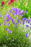 Decorative garden plant Carpathian Bellflower ( Campanula carpat Stock Image