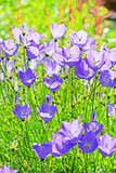 Decorative garden plant Carpathian Bellflower ( Campanula carpat Royalty Free Stock Photography