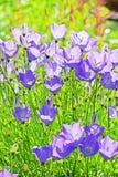 Decorative garden plant Carpathian Bellflower ( Campanula carpat Royalty Free Stock Photography