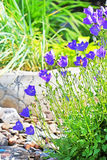 Decorative garden plant Carpathian Bellflower ( Campanula carpat Stock Photos