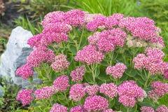 Decorative garden plant Sedum prominent  lat. Sedum spectabile Stock Image