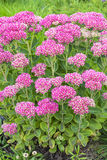 Decorative garden plant Sedum prominent  lat. Sedum spectabile Royalty Free Stock Image