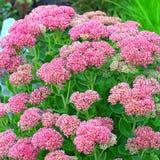 Decorative garden plant Sedum prominent  lat. Sedum spectabile Stock Photo