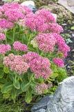 Decorative garden plant Sedum prominent  lat. Sedum spectabile Royalty Free Stock Photos