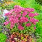 Plant Sedum prominent lat. Sedum spectabile. Decorative garden plant Sedum prominent lat. Sedum spectabile. Autumn flowering in Siberia Royalty Free Stock Image