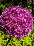 Decorative garlic royalty free stock photos