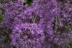 Decorative garlics. Decorative garlic is a lot of royalty free stock photos