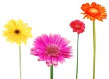 Decorative gerberas. Tropical gerbera daisies in collection Royalty Free Stock Photos