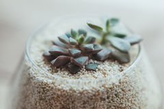 Decorative glass vase with white sand and succulents. On a white table Stock Photo