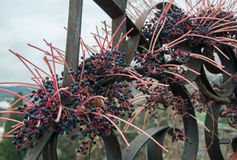 Decorative grapes on a fence. In high quality Royalty Free Stock Image