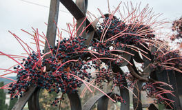 Decorative grapes on a fence. In high quality Stock Image