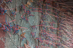 Decorative grapes on a wall. In high quality Stock Image