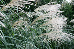 Decorative Grass. Long Decorative Grass at the end of Summer/Season stock image