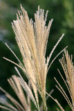 Decorative Grass. Long Decorative Grass at the end of Summer/Season royalty free stock photo
