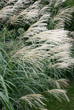 Decorative Grass. Long Decorative Grass at the end of Summer/Season royalty free stock images
