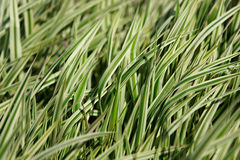 Decorative grass Stock Photography