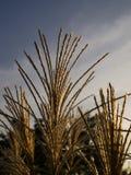 Decorative grass at autumn sun Stock Photos