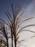 Decorative grass at autumn sun Royalty Free Stock Photography
