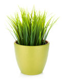Decorative grass in flowerpot Royalty Free Stock Photo