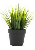 decorative grass in flowerpot Royalty Free Stock Photography