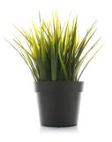 Decorative grass in flowerpot isolated Royalty Free Stock Photos